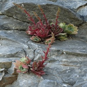 Rosularia serrata