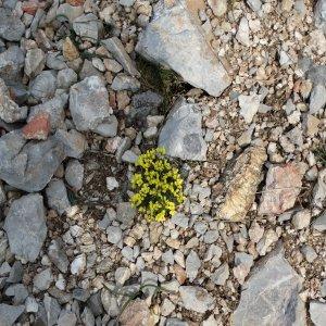 Draba bruniifolia ssp. olympica