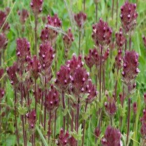 Parentucellia latifolia ssp. latifolia