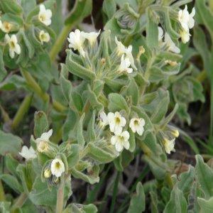 Alkanna orientalis var. leucantha