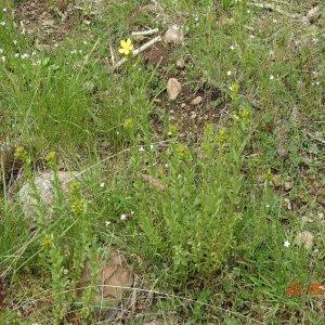 Hypericum orientale