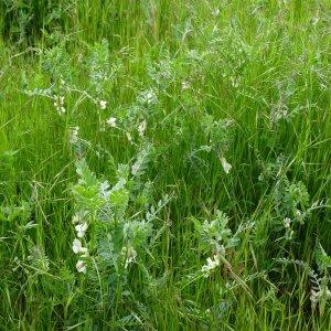 Vicia pannonica ssp. pannonica