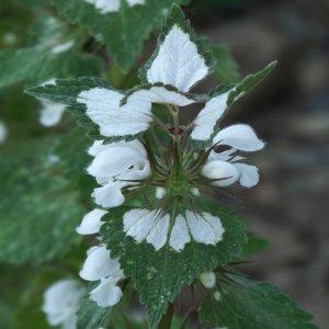 Lamium moschatum