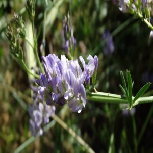 Medicago sativa ssp. sativa
