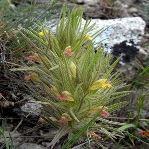 Bungea trifida