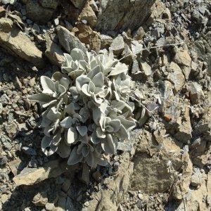 Inula heterolepis