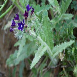 Anchusa hybrida Sin:Anchusa undulata ssp. hybrida