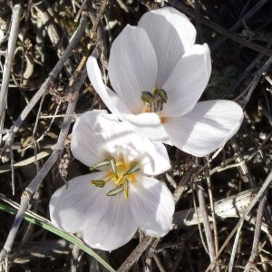 Colchicum triphyllum