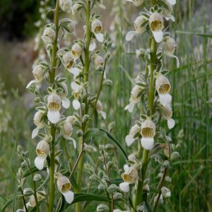 Digitalis lamarckii