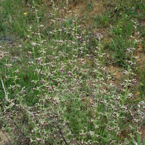 Scrophularia canina ssp. bicolor
