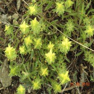 Sideritis montana ssp. montana