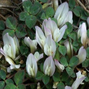 Trifolium uniflorum