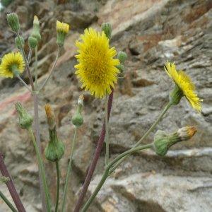 Sonchus asper ssp glaucescens