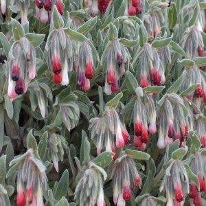 Onosma alba roseum