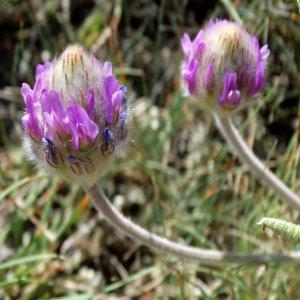 Astragalus densifolius ssp ayashensis