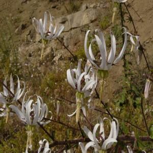Michauxia campanuloides