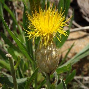 Centaurea ensiformis