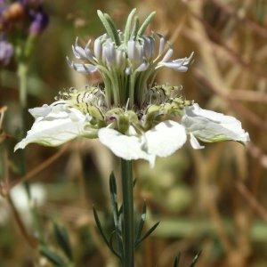 Nigella arvensis ssp glauca