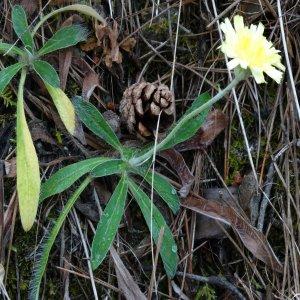 Pilosella hoppeana ssp. testimonialis Sin: Hieracium pilosella