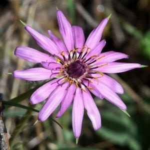 Tragopogon porrifolius