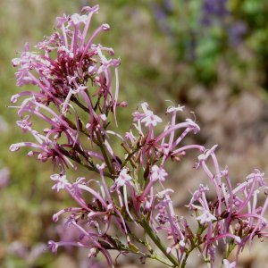 Centranthus longiflorus