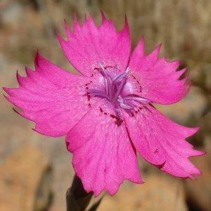 Dianthus zonatus var. zonatus