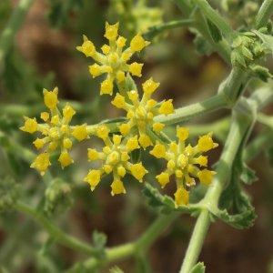 Echinophora tenuifolia ssp. sibthorpiana
