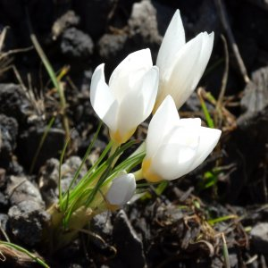 Crocus biflorus ssp. Pulchricolor (albino)