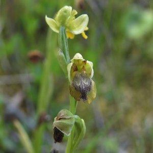 Ophrys lutea subsp. minor. Sin. Ophrys phryganae