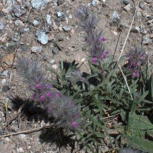 Stachys lavandulifolia var. lavandulifolia
