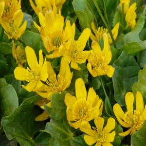 Caltha palustris; Syn: Caltha polypetala