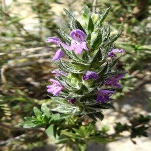 Thymbra spicata ssp. spicata