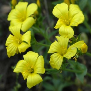Linum flavum ssp. scabrinerve