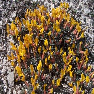 Cytisopsis dorycniifolia