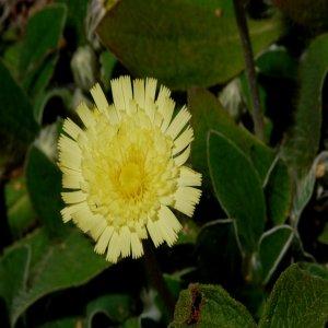 Pilosella hoppeana ssp. lydia