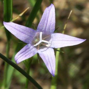 Campanula rapunculus subsp. lambertiana