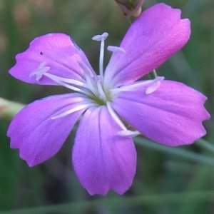 Dianthus ancyrensis