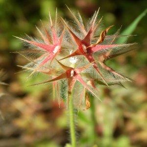 Trifolium stellatum var. stellatum
