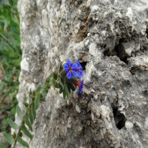 Alkanna macrophylla