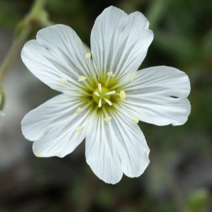 Cerastium banaticum
