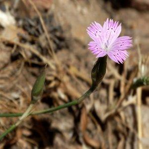 Dianthus tripunctatus