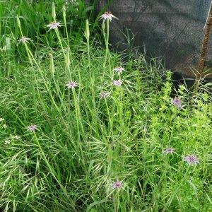 Tragopogon longirostris ssp. longirostris Sin:Tragopogon porrifolius ssp. longirostris