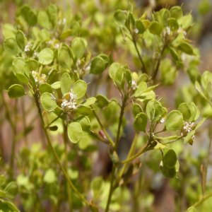 Alyssum masmaneum