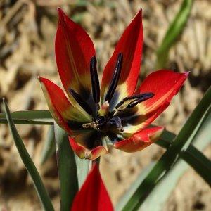 Tulipa orphanidea