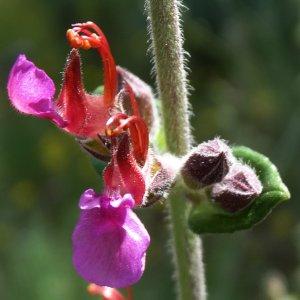 Teucrium divaricatum ssp. villosum