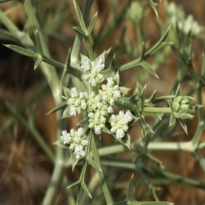 Echinophora tournefortii