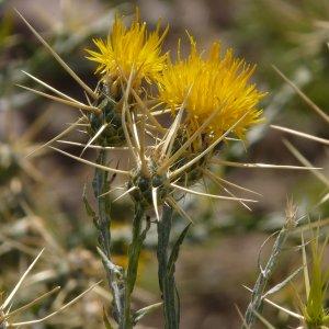 Centaurea solstitialis ssp solstitialis