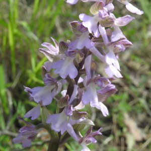 Orchis morio ssp. syriaca