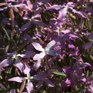 Hesperis bicuspidata Sin: Hesperis stellata